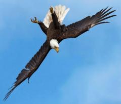 bald eagles agility