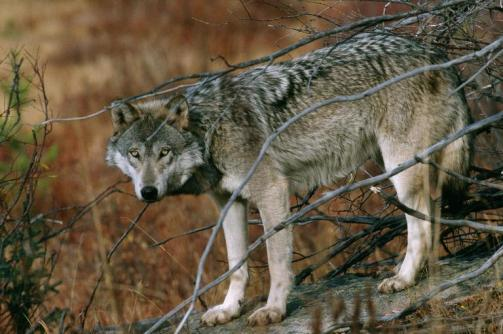 03-lethal-predator-livestock-adapt-768-1